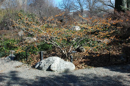 "Hamamelis x intermedia ""Jelena"", Rock Garden, BBG"