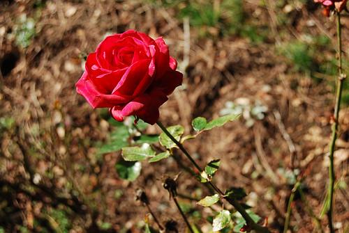 February Rose