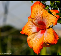 Colourful Hibiscus Flower (Anushruti RK) Tags: greenleaves sunlight flower macro green colors leaves garden bokeh hibiscus stamen soe goldenlight colourfulflowers platinumphoto impressedbeauty superbmasterpiece diamondclassphotographer flickrdiamond megashot theunforgettablepictures anushruti