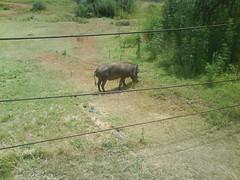Wild warthog at Pilansberg