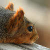 Squirrel Closeup (flopper) Tags: macro squirrel neighbor flopper interestingness45 interestingness151 interestingness42 interestingness214 interestingness192 interestingness316
