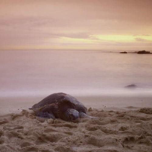 Long Exposure, Turtle, Turtle Beach, North Shore, Oahu, Hawaii, Sunset