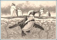 'Paddling Penguin' Fine Art Pencil Drawings  www.drawntonature.co.uk (kjhayler) Tags: pictures wild portrait blackandwhite bird art monochrome birds pencil portraits painting zoo penguin penguins sketch photo artwork photos drawing flock paintings feathers picture drawings naturalhistory prints sketches avian jackass animalart wildanimals singaporezoo bouldersbeach flocks animalprints birdlife wildbirds pencilwork jackasspenguins pencildrawings featheredfriends wildlifeimages drawingpictures animalpictures wildlifeart animalscats wildbird thepenguin wildlifephotography birdart wildlifephotos animalphotos animaldrawings wildlifeartists naturepictures birdpictures wildlifeportraits wildpictures animalspictures openedition wildlifeartist wildlifedrawings drawingphotographs kevinhayler picturespenguin picturepenguin photospenguin penguinpicture penguinpictures penguinphotos penguinphoto picturesofpenguins photosofpenguins