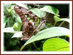 A side profile of Graphium agamemnon (Tailed Jay, Green Spotted Triangle)