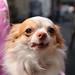 チワワ:Chihuahua_01
