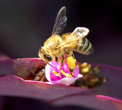 A very close look at a pollen-laden Honeybee on a Purple Nun (jungle mama) Tags: flower gold purple bee pollen purpleheart groundcover apis bbf blueribbonwinner tradescantiapallida theworldwelivein abigfave macromarvels excapturemacro 100commentgroup pollenonbeesleg beautifulmonsters beepollinatingflower smallcreatureswilllovethisplace purplenun shinybee biscayneparkflorida beeonpurplenun beeonpurpleheart beepollinatingpurplenun