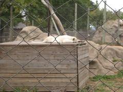 IMG_2697 (asettle2000) Tags: southafrica lionpark johanesburg