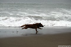 Chase (primarycolors897) Tags: ocean california dog beach water sand pacific marin chase headlands