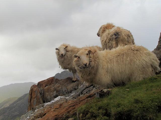 moutons en descendant du mont snowdon