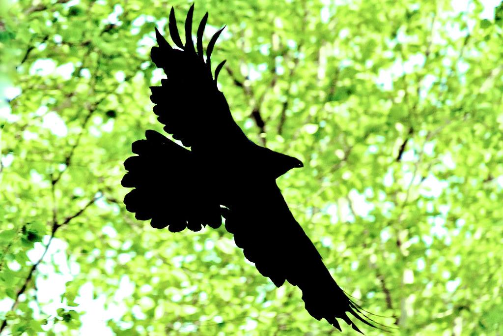 Rough raven