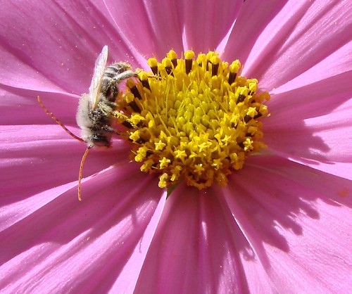 """bee in the cosmos • <a style=""""font-size:0.8em;"""" href=""""http://www.flickr.com/photos/10528393@N00/1693032671/"""" target=""""_blank"""">View on Flickr</a>"""