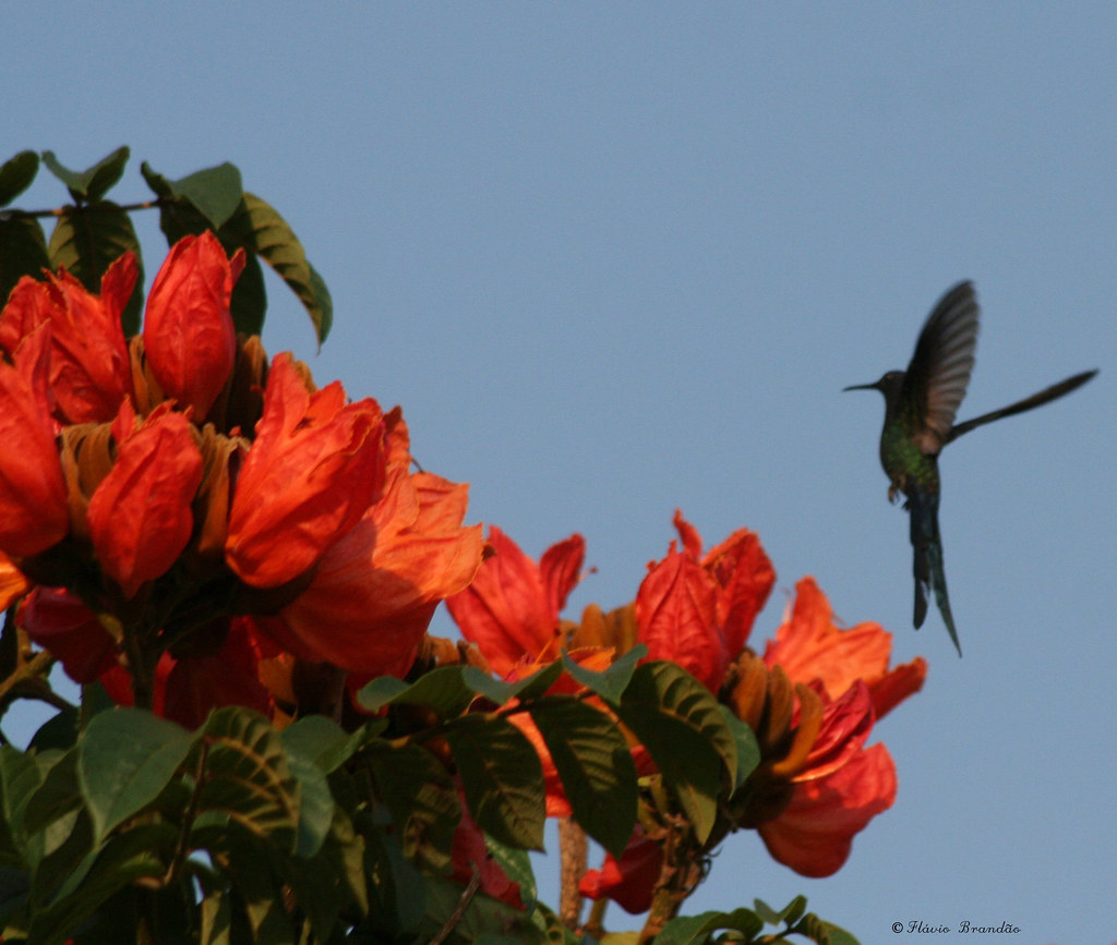 A Tulipa africana (Spathodea campanulata) e o Beija-flor Tesoura (Eupetomena macroura) - The African Tulip Tree and the Swallow-tailed Hummingbird 70 30-10-07 035