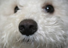 I love his little nose!!! (FlyNutAA) Tags: dog love nose joey bichon bichonfrise bestfriend bolognese whitedog