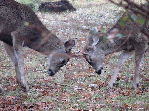 mule deer tet-a-tet