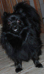bobbi....my what big teeth you have! ~ 12/3/07 (DivineMissJEN) Tags: baby angel sadness pom memorial sad miracle rip daughter memory depression mybaby forever tribute goodbye pomeranian loved 4ever furbaby inmemoriam missed rainbowbridge bobbi pompom restinpeace brokenhearted puppyluv missingu luvd petheaven