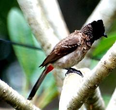 Bird on branch (chanrajesq) Tags: bird bulbul