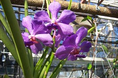 V. (Josephine Van Brero x Bangkok Blue 'Pink') (dwittkower) Tags: orchid flower flora orchids orchidaceae vanda orquideas orchidée orqudea