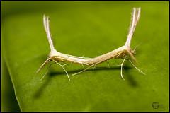 Moth Mating (Tomatoskin) Tags: kam soe tampines tamron90mm macroinsect naturesfinest superbmasterpiece diamondclassphotographer canoneos40d mothmating tomatoskin locationsg theperfectphotographer