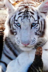 White Tiger Blue Eyes (sue.san) Tags: animals zoo whitetiger
