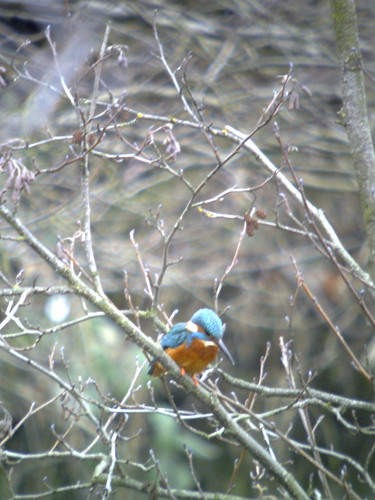 Kingfisher at Bretton Lakes, South Yorkshire