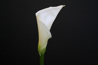 Calla Light Bulb