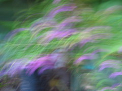 Dog barked and Flowers Flew_7576 (jaciii (off&on)) Tags: flowers friends greenleaves canon democracy abstractart impressionism inspire dimensions abstractphotos sd600 canonsd600 blurredonpurpose flickrenvy smallpurpleflowers wwrusa eperke imuniquecreative savetheusa colouryourlife besuretovote losingdemocracy justmovecamera pofpop11