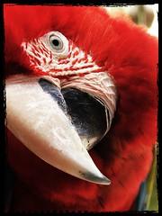 DSCF3439 (daveldoorf) Tags: tenerife captive animalkingdom greenwingedmacaw junglepark animalkingdomelite espana aracloropthera guacamayoaliverde daveldoorf