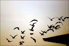 home (me*voil) Tags: morning sunrise ol inflight pigeons silhouettes backhome naturesfinest mywinners