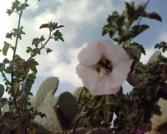 Zohour (Jamal Elkhalladi) Tags: flowers nature fleurs morocco maroc milli  hassi   berkane   triffa