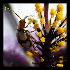Bug (Casseris) Tags: flower macro nature up bug insect close natural beetle pollen