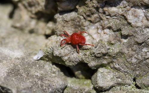 Red Velvet Mite (Trombidiidae)