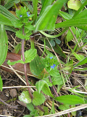 IMG_2193a (mausboam) Tags: veronica speedwell veronicaarvensis wallspeedwell nujc vc56 iduncertain scrophularaceae