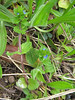 IMG_2193a (mausboam) Tags: veronica speedwell veronicaarvensis wallspeedwell nujc vc56 iduncertain scrophularaceae