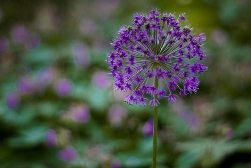 Blooming Blue...