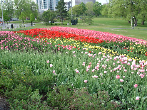 Tulips in Gatineau