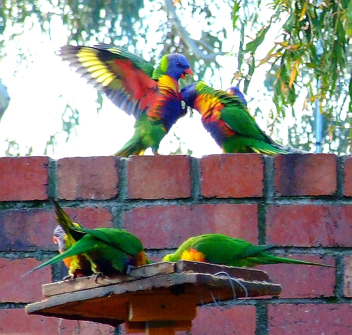 fighting lorikeets