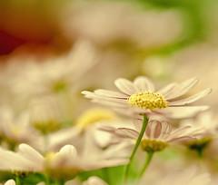 Daisery (raceytay {I brke for bokeh}) Tags: pink flower macro green yellow canon soft purple bokeh daisy hbw 100mmf28usm bokehwednesday 5dmarkii bokehholicsanonymous dheml daisery rlythereissomethere