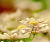 Daisery (raceytay {I br♥ke for bokeh}) Tags: pink flower macro green yellow canon soft purple bokeh daisy hbw 100mmf28usm bokehwednesday 5dmarkii bokehholicsanonymous dheml daisery rlythereissomethere
