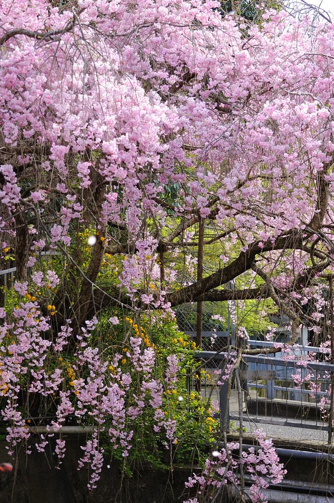 Sakura 2010 #19
