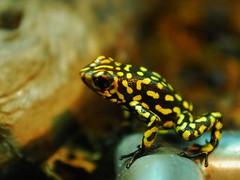 Cocoy frog (jametoro) Tags: comment quot100 groupquot 100commentgroup mygearandme mygearandmepremium