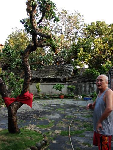 四美堂老荔枝樹。  圖片來源:江慶洲