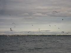 more bay & even more blues (jodiiiii) Tags: warwick bluefish rockypoint narragansettebay
