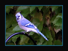 Jay (redmann) Tags: ontario canada bird canon300d zoom bluejay 300mm frame perched stratford canon75300 takeabow thecontinuum thatsclassy