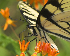 Yellow Swallowtail Butterfly (Momba (Trish)) Tags: orange macro nature yellow butterfly interestingness nikon tennessee explore nikkor swallowtail naturesfinest butterflyplant yellowswallowtail nikond200 interestingness450 i500 105mmf28gvrmicro diamondclassphotographer flickrdiamond buzznbugz explore21october2007