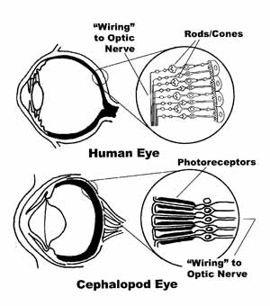 "Image: Halder,, G., P. Callaerts, and W.J. Gehring. ""New Perspectives on, Eye Evolution"". Current Opinions In Genetics &, Development 5:602-60 (1995)."
