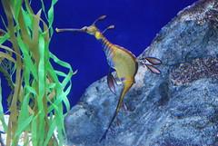Sea dragon (adam.cliffe) Tags: singapore underwaterworld setosa