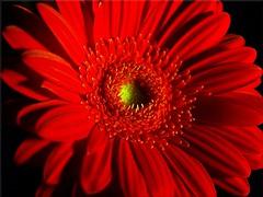 I love love  .... ITALY !!!!!!!!! (j.anne4 ( Janne )) Tags: flowers red italy flower macro song gerbera makro lill itaalia lilled erosramazzotti olympuse400 laul punane mywinners welcometoestonia aplusphoto janne4janne