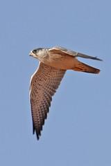 032054-IMG_4809 Grey Falcon (Falco hypoleucos) (ajmatthehiddenhouse) Tags: greyfalcon grayfalcon falcohypoleucos falco hypoleucos sa southaustralia bird 2007 australia