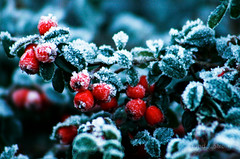 RGF - Red, Green, and Frost (trondjs) Tags: christmas winter decorations red cold green nature leaves norway canon dark eos leaf interestingness frost dof zoom fav50 seasonal fav20 explore yule tele jul dslr fav30 yuletide redberry shallowdepthoffield redberries shallowdof asker 55200 55200mm fav10 largeaperture myterrace fav100 godjul 10faves interestingness217 fav40 i500 fav60 fav110 fav90 25faves 400d abigfave fav80 fav70 trondjs goldenphotographer favemegroup3 explore13dec2007 ef55200mm456iiusm