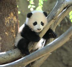 No fear (kjdrill) Tags: california bear usa baby public giant zoo cub panda sandiego bears zhen precious debut pandas endangeredspecies zhenzhen 7120a